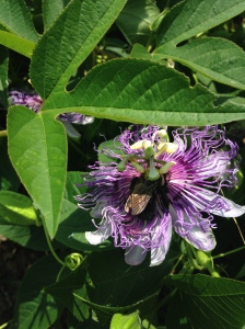 Passionflower3